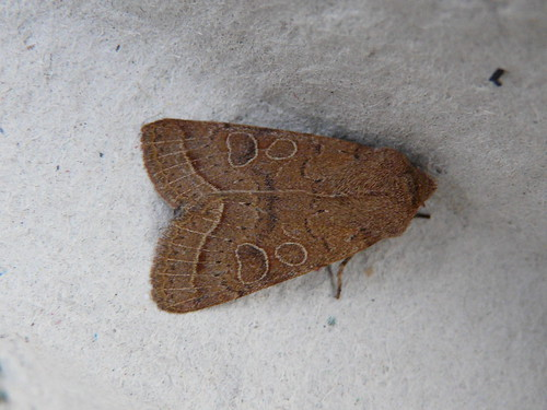 Common Quaker (Orthosa stabilis) by Peter Orchard