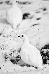 White-tailed Ptarmigan (Wolfhorn) Tags: winter nature alaska blackwhite wilderness ptarmigan whitetailed