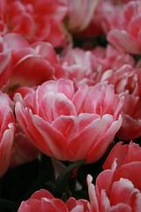 Peonies (Read2me) Tags: she pink flower dof cye gamewinner thechallengefactory pregamewinner
