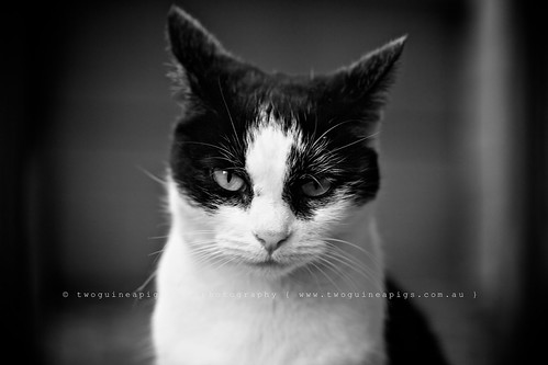 Dare to stare, portrat of a street cat by twoguineapigs pet photography