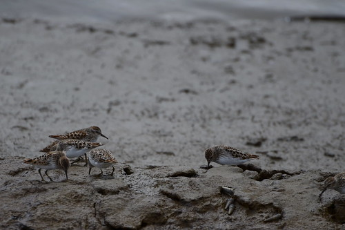 Dike Walk :: Sandpipers