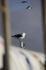 Birds on the ship coming into Stanley port (bowsawblogger) Tags: sea bird water ship gull rail southernocean tamron atlanticocean landed falklandislands dolphingull canoneos550d