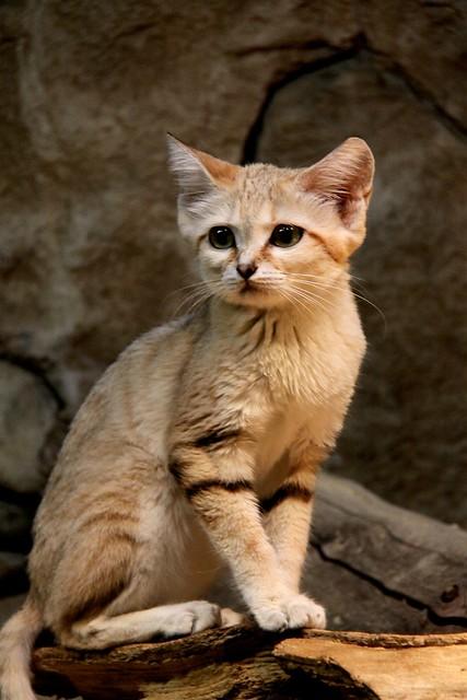 Gloomy Sand Cat