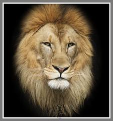 Lion Close up 2 (Luke)  ************* (EXPLORED 5.2.11) (1Snowboarder) Tags: closeup canon rebel lion nationalzoo loin 100400 thewildlife mygearandme