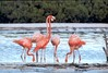 Flamingos (Birdwatching)-Holbox Island