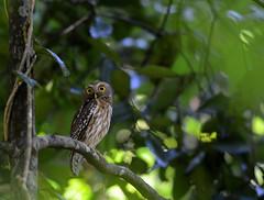 Philippine Boobook Ninox philippensis (Bram Demeulemeester - Birdguiding Philippines) Tags: bramdemeulemeester birdguidingphilippines philippineboobook philipinesbirdingtours