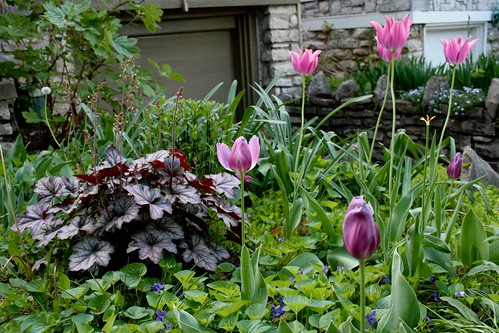 Heuchera and Tulips