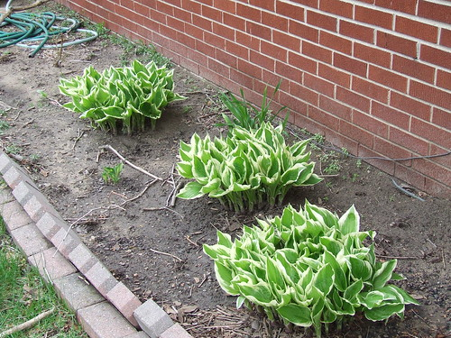 Hostas and daylilies
