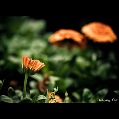 Patience (Explored) (Danny Yao) Tags: roses orange flower green sunshine nikon bokeh danny marco guns yao 105mm f28g d80