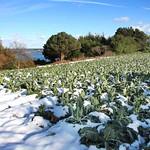 Chou fleur sous la neige à Ploubazlanec