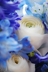 My favorite colors (rosyamei) Tags: blue white flower macro nikon ranunculus 花 青 白 d80 ラナンキュラス