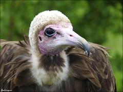 238-El feo. (Ambrispuri) Tags: africa portrait bird eye look retrato feathers raptor ave pico pajaro mirada claws scavenger garras plumas rapaz africanvulture carroero buitreencapuchado buitreafricano vulturehooded ambrispuri