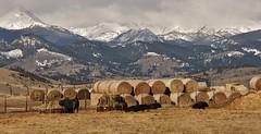 The Good Life.... (DJ MacTrucker) Tags: ranch snow mountains montana cows farm farming critters hay norris ranching roundbales rotoballe hwy287 hrivertovernonhomethrupark