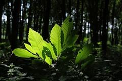 Backlit leaves (patrick.gysen slowly waking up) Tags: wood leaves delete10 backlight delete9 delete5 delete2 delete6 delete7 delete8 delete3 delete delete4 save