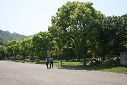 台3線的老樟樹,移植到雪霸汶水遊客中心大門口尚存22棵。