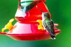 JAB_0479-2 (Adam Berry Photography) Tags: bird hummingbird rubythroatedhummingbird abphoto ©adamberryphotography
