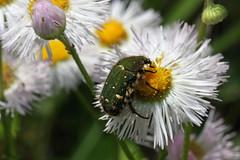 泉の森のコアオハナムグリ(Beetle, Izuminomori park, Yamato, Kanagawa, Japan)