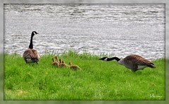Ok kiddos, here comes that darned lady with the camera... (Brittamay) Tags: canada green nature geese crazy nikon paradise all earth mother carousel about natures coth d5000 thenaturesgreenpeace