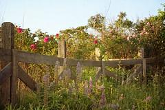 wild roses1