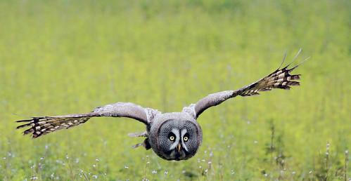 [フリー画像] 動物, 鳥類, フクロウ, カラフトフクロウ, 201106070500