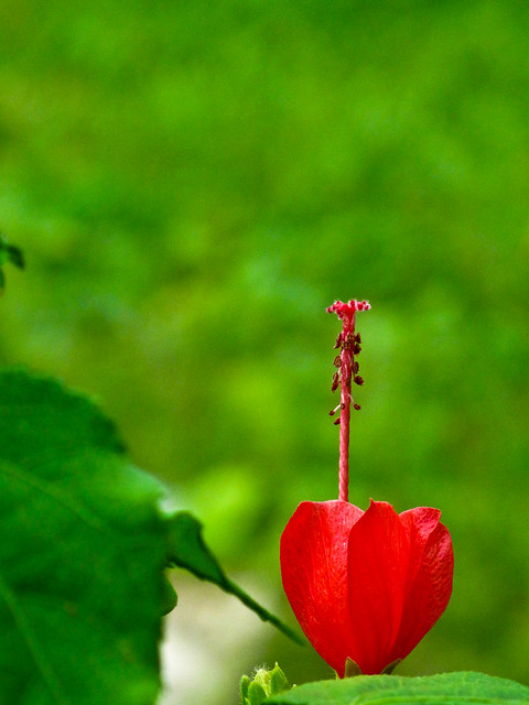 IMG_0734 Red Flower