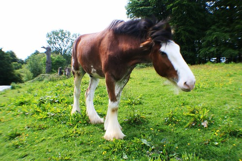 Clydesdale Horse at Pollock Park