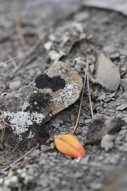 lichens & orange boxwood leaf