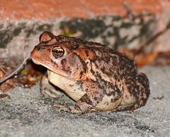 Southern Toad (mllehmann) Tags: nature amphibian toad southerntoad