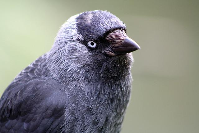 Corvus monedula (Jackdaw)