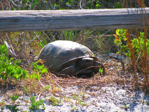 IMG_5619-Bowditch-gopher-tortoise