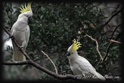 White Cockatoos, Grant's Picnic Ground