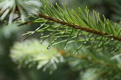 Fir tree after rain (Cristina Merticaru) Tags: flowers blue light red roses summer two sun moon flower macro tree green nature rain june rose night canon de photography eos during eclipse early photo leaf drops amazing funny day purple little shots earth first 15 luna dandelion whole part beginning needle romania end bunch fir second 16 trick total lunar thw entire iunie untill 2011 accidentally eclipsa buzau totala 1000d nomodified
