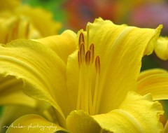 In Green Bay, Wisconsin.... (itucker) Tags: macro yellow bokeh daylily dukegardens excellence marytodd