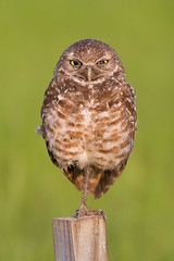 "Burrowing Owl, ""You looking at me?"" (Explore) (Photomatt28) Tags: bird avian athenecunicularia burrowingowl floridabirds birdphoto"