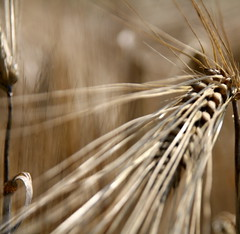 beards (im_fluss) Tags: field barley feld beards ripe reif gerste grannen