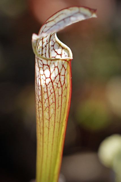 Sarracenia 'Danas Delight' x areolata