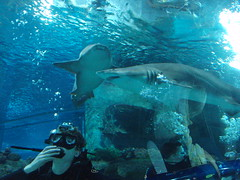 Blue Planet Shark Dive (Alex Staniforth: Wildlife/Nature Photography) Tags: blue alex aquarium shark lemon sand underwater tiger diving casio planet sharks nurse staniforth exfh20