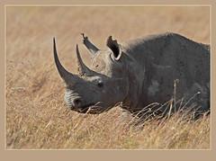 Black Rhino headshot (Rainbirder) Tags: blackrhino masaimara blackrhinoceros dicerosbicornis dicerosbicornismichaeli