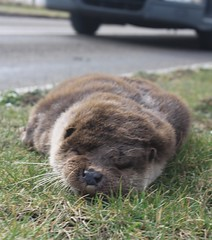 Otter Lutra lutra mustelidae road casualty (BSCG (Badenoch and Strathspey Conservation Group)) Tags: a9 rta mustelidae lutra