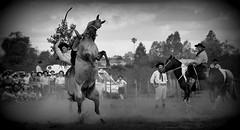 Francisco Sol (Eduardo Amorim) Tags: gacho gachos gaucho gauchos cavalos caballos horses chevaux cavalli pferde caballo horse cheval cavallo pferd crioulo criollo crioulos criollos cavalocrioulo cavaloscrioulos caballocriollo caballoscriollos pampa campanha fronteira bag riograndedosul brsil brasil sudamrica sdamerika suramrica amricadosul southamerica amriquedusud americameridionale amricadelsur americadelsud cavalo         hst hest hevonen  brazil eduardoamorim gineteada jineteada