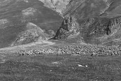 Pecore al pascolo (giansacca) Tags: animali animals animaux pecora sheep brebis argentera piemonte colledellamaddalena montagna montagne mountain