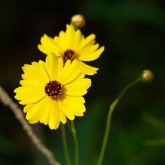 Full Sun (11Jewels) Tags: canon 70300 wildflower myakkariverstatepark sarasotafl florida