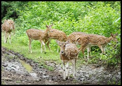 Spotted Deer in the City Forest @SGNP @Mumbai (indianature13) Tags: sgnp sanjaygandhinationalpark forest westernghats indianature india maharashtra monsoons september 2016 cityforest urban mumbai bombay borivili borivali borivalinationalpark wildlife deer spotteddeer spotteddeersgnp adivasi adivasipada