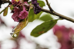 Crepe Myrtle Rain Drop (DaxtonImaging) Tags: plant blossom crepemyrtle bokeh lagerstroemia waterdrop waterdrops waterdroplet rain raindrops flowers flower fallrain autumnrain fall crepemyrtles waterdroplets raindrop flowersofinstagram aftertherain