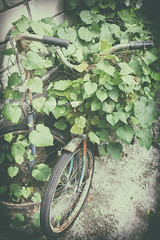 Old rusty bicycles with winding ipomoea (victoria.kondysenko) Tags: old rusty bicycle wind ipomoea flower leaf green antique art beautiful bike black classic color concept cycle decoration design detail frame poster retro ride street style traditional transport vintage wall wheel wooden
