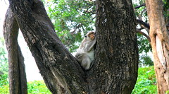 Monkey See, Monkey Sleep (Eye of Brice Retailleau) Tags: asia angle animal animaladdiction animals colourful colours composition details earth extrieur fantasticwildlife fauna forest green nature outdoor scenic travel vert wildlife tree cambodia cambodge phnompenh monkey