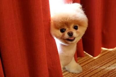 boo_Pomeranian_Dog_13