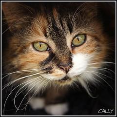 Into the light (Explored) (hehaden) Tags: light white animal cat square eyes kitty tortoiseshell whiskers tortie playtunnel longnhaired