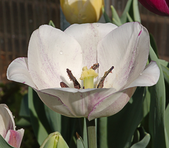 Missouri Botanical Garden (Shaw's Garden), in Saint Louis, Missouri, USA - white tulip