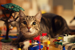 Curiosity (bijoyKetan) Tags: pet look animal cat manchester ma intense lego frankie curiosity shallowdof ketan canon35mm14lusm bijoyketan